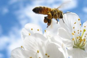 Busy bee in flight